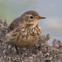 Bird of the Month- February 2020 is American Pipit