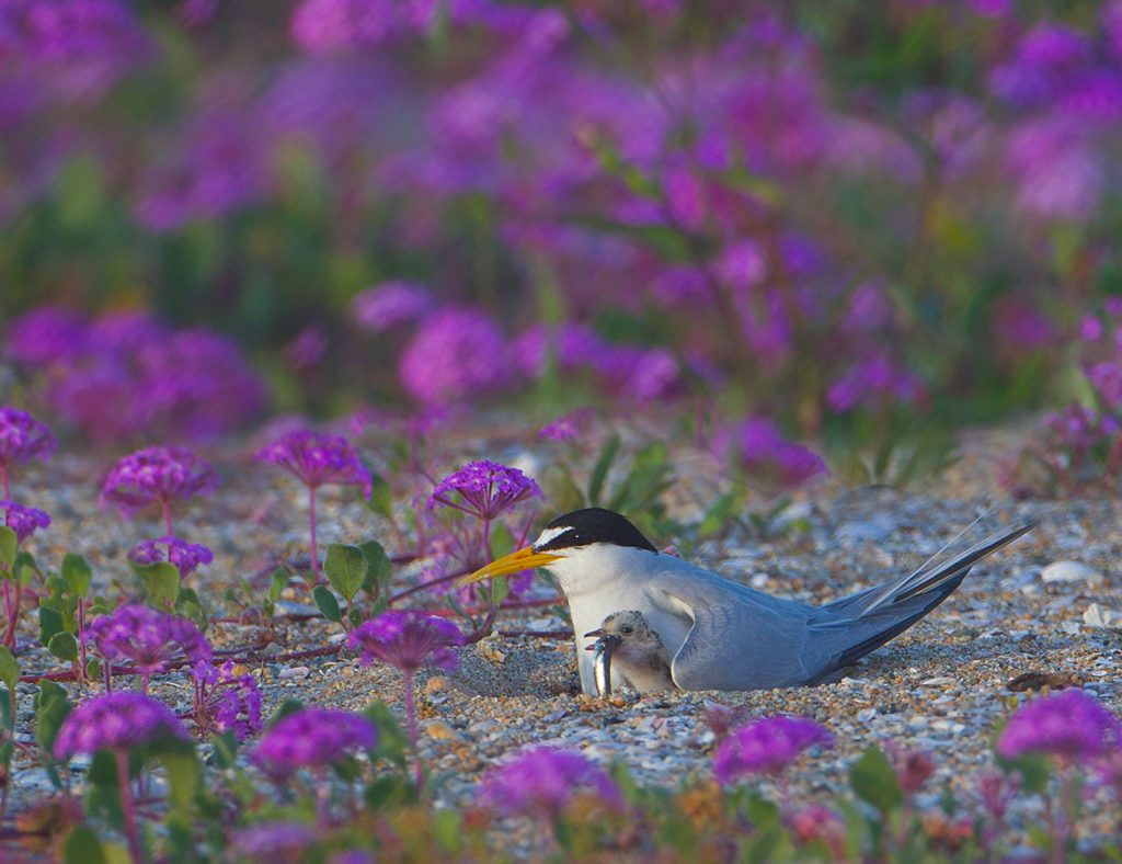 Least Tern with chick by Robin Hoyland