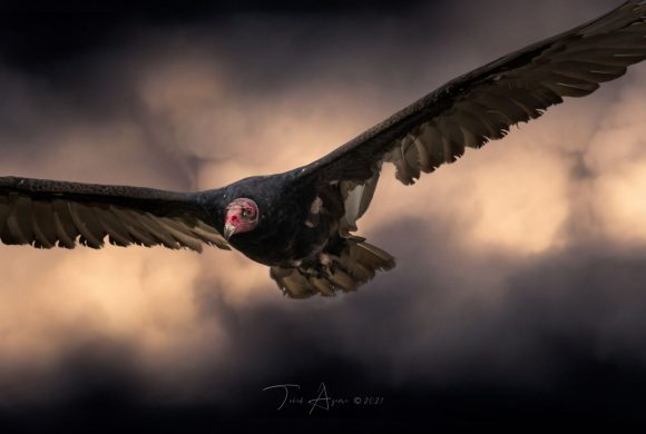 Vulture Culture: The Ups and Downs of the Turkey Vulture