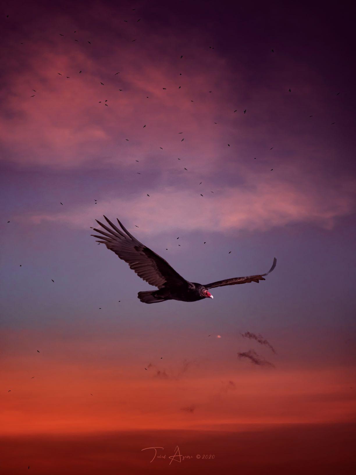 Turkey Vulture by Tohid Azimi